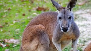 kangaroos national geographic