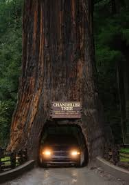 Chandelier Tree California In The Redwoods Trees And More Make Special Part Of California A