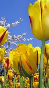 276 best lovely tulips on pinterest images on pinterest flowers