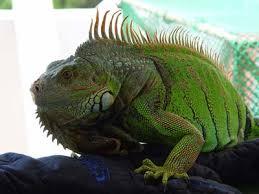 imágenes de iguanas verdes reptiles blog de mascotas perros y gatos