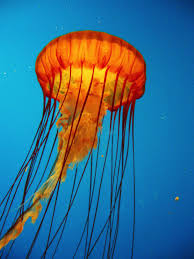 Jellyfish Home Decor by Best 25 Types Of Jellyfish Ideas On Pinterest Dating In Japan