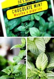 Chocolate Mint Bonnie Plants by 144 Best Herbs
