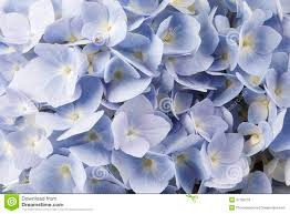 white and blue flowers blue flowers stock image image of nobody floral leaf 37199733
