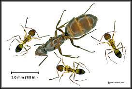 Ants In Backyard Argentine Ants