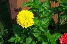 Zinnias Flowers How To Grow Zinnia Annual Flowers Plants Zinnia Seeds
