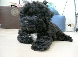 shih poo haircuts shih poo haircuts shih poo puppy cut newhairstylesformen2014