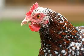 how to handle the aging process of chickens backyard chickens
