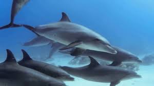 pod of dolphins filmed inside the red sea egypt animals planet