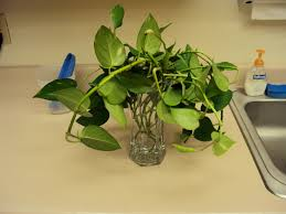 interior interesting hanging potted plant with pothos plant for
