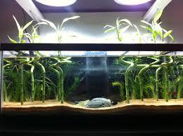 lucky bamboo in aquarium 1000 aquarium ideas