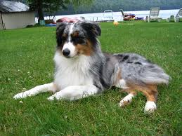 australian shepherd 11 weeks old australian shepherd puppies pictures miniature diet breeding