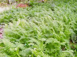 plants native to maryland maryland native plant society thelypteris noveboracensis