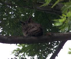 the natural world invasion of the great horned owls