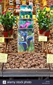 calla bulbs calla bulbs for sale at amsterdam flower market