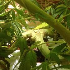 Pousser En Mongo Est Il by Mango Sapphire L Originale Mango Sapphire Californienne
