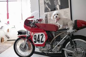 ozzie a bichon frise happy tails nan daily dog tagdaily dog tag