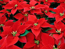 Christmas Flowers 15 Flowers In Season In December For Wedding Everafterguide