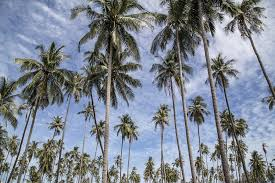 free photo palm tree trees palm tree free image on pixabay
