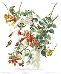 bird friendly native plants audubon what mr audubon thought of hummingbirds audubon