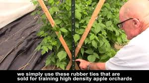 managing high tunnel raspberries using v trellises youtube