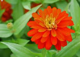 Zinnia Flower Free Stock Photo Of Zinnia Orange Flower Freerange Stock