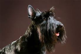 afghan hound lady and the tramp scottish terrier dog breed information pictures characteristics