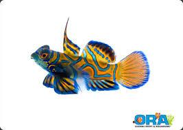 in a significant advancement in marine ornamental aquaculture ora