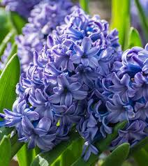 hyacinth flower amazing benefits of hyacinth herb for skin hair and health