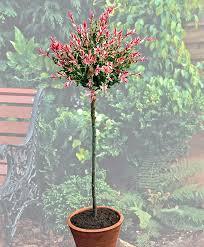 buy ornamental shrubs now standard ornament willow bakker