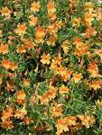 Tried &amp; True <b>Mimulus</b> Tropicana