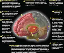 Part Of Brain That Controls Arousal The Brain At Work