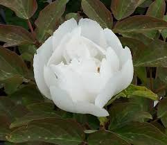 Peonies For Sale Tree Peonies For Sale Uk Paeonia Suffruticosa Online Uk