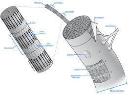 imagequiz lab 6 microscopic anatomy of a skeletal muscle fiber
