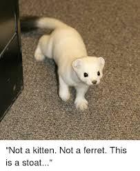 Ferret Meme - not a kitten not a ferret this is a stoat dank meme on esmemes com