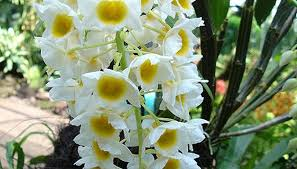 Dendrobium Orchid How To Take Care Of Dendrobium Orchids Garden Guides