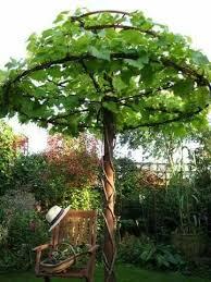 Growing Grapes Trellis Best 25 Grape Vine Trellis Ideas On Pinterest How To Grow
