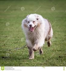australian shepherd yard art running australian shepherd dog stock photography image 30281302