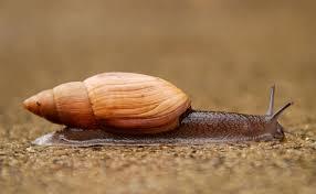Types Of Garden Snails Euglandina Rosea Wikipedia