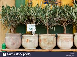 small trees in pots stock photos small trees in pots stock