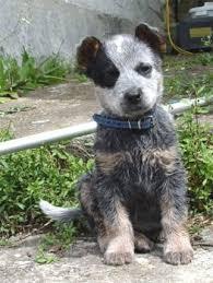 australian shepherd wolf best 10 australian cattle dog ideas on pinterest cattle dogs