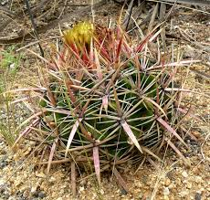 san diego native plants 13 succulents that are native to san diego ca install it direct