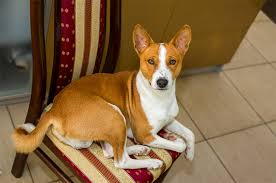 australian shepherd dogtime basenji dog breed information pictures characteristics u0026 facts