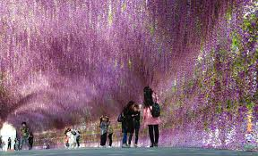 lavender tunnel in ne china gives couples a walk to remember cgtn