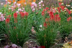 high heat plants kniphofia u0027poco red u0027 terra nova nurseries inc