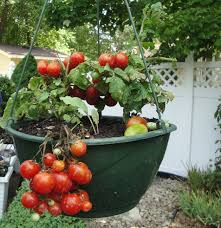 10 pictures of vegetable gardening in containers