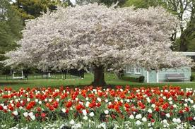New Zealand Botanical Gardens Tulips And Blossom Christchurch Botanic Gardens