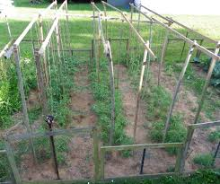 growing tomato plants up a hanging string tomato trellis in the