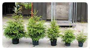 where to buy potted trees rainforest islands ferry