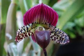 winter carnival orchid show admission fee required at como park