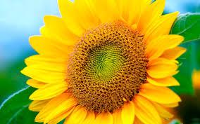 big surymukhi yellow flower high definition desktop background